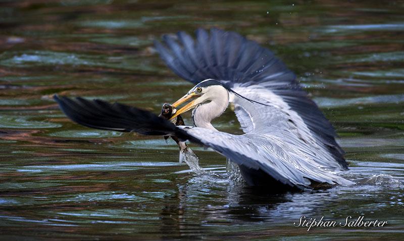 Heron pecheur